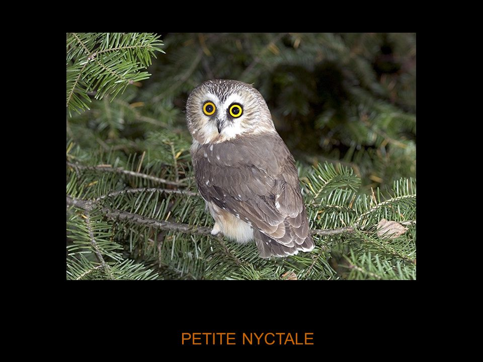 PETITE NYCTALE