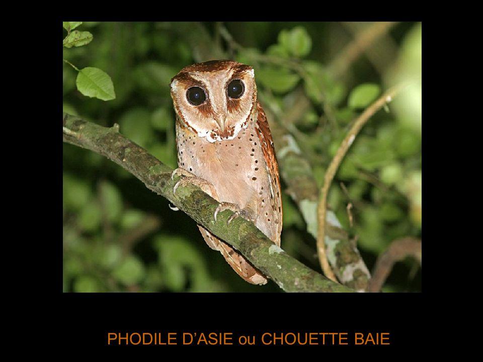 PHODILE D'ASIE ou CHOUETTE BAIE