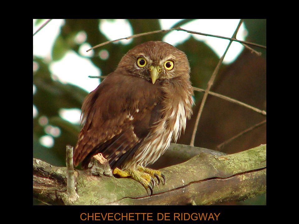 CHEVECHETTE DE RIDGWAY