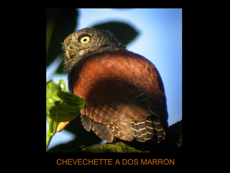 CHEVECHETTE A DOS MARRON