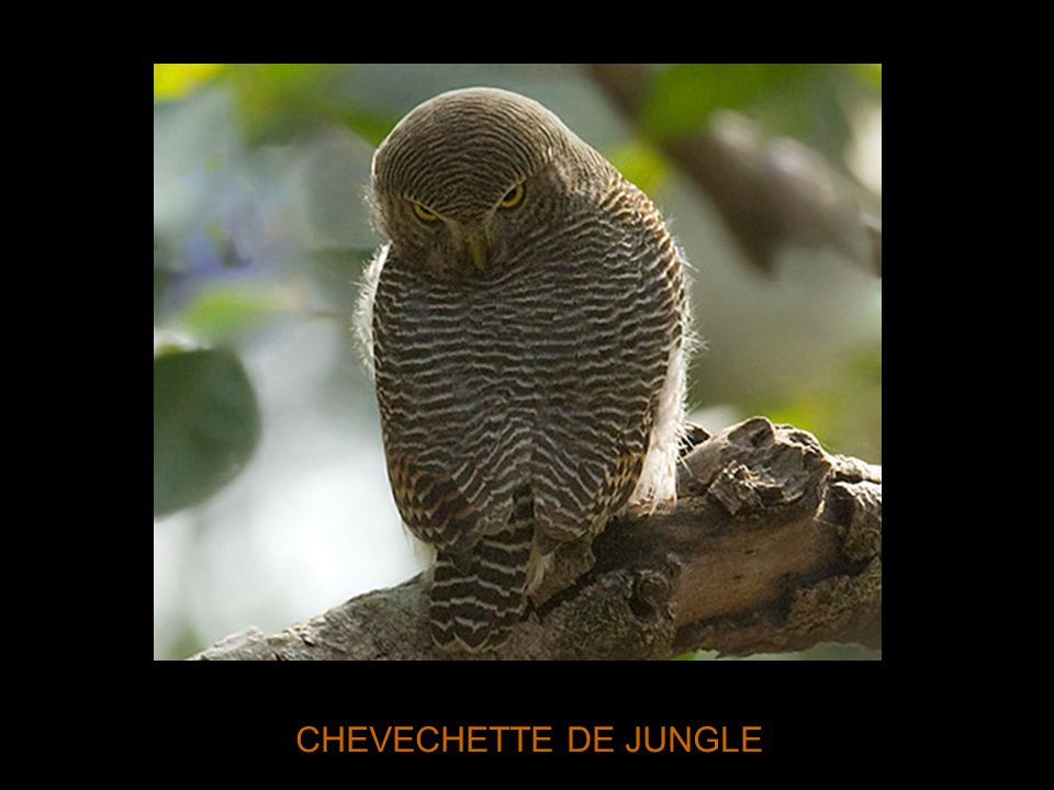 CHEVECHETTE DE JUNGLE