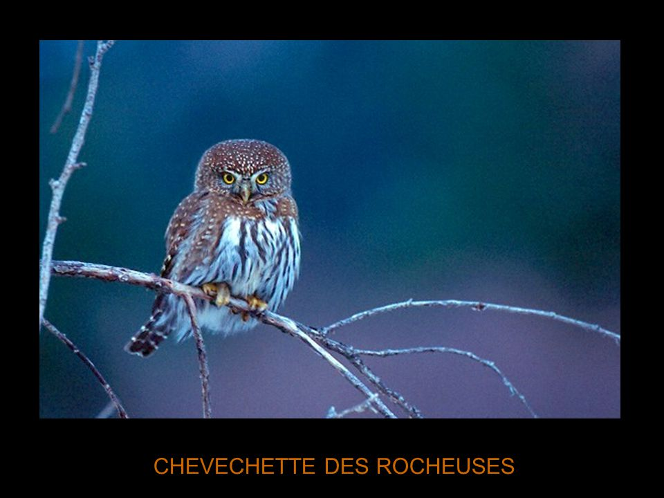 CHEVECHETTE DES ROCHEUSES