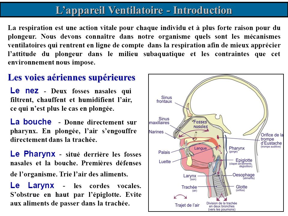 L'appareil Ventilatoire - Introduction
