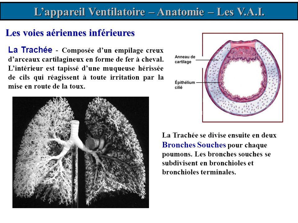 L'appareil Ventilatoire – Anatomie – Les V.A.I.