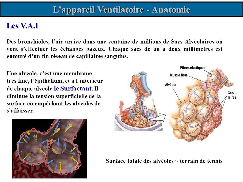 L'appareil Ventilatoire - Anatomie
