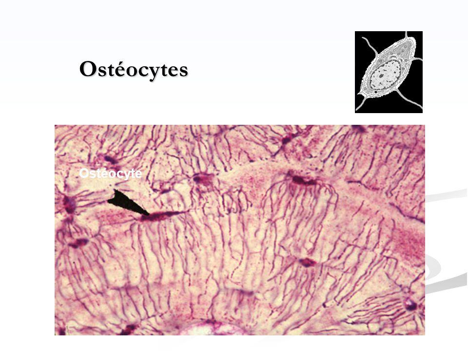 Ostéocytes Ostéocyte