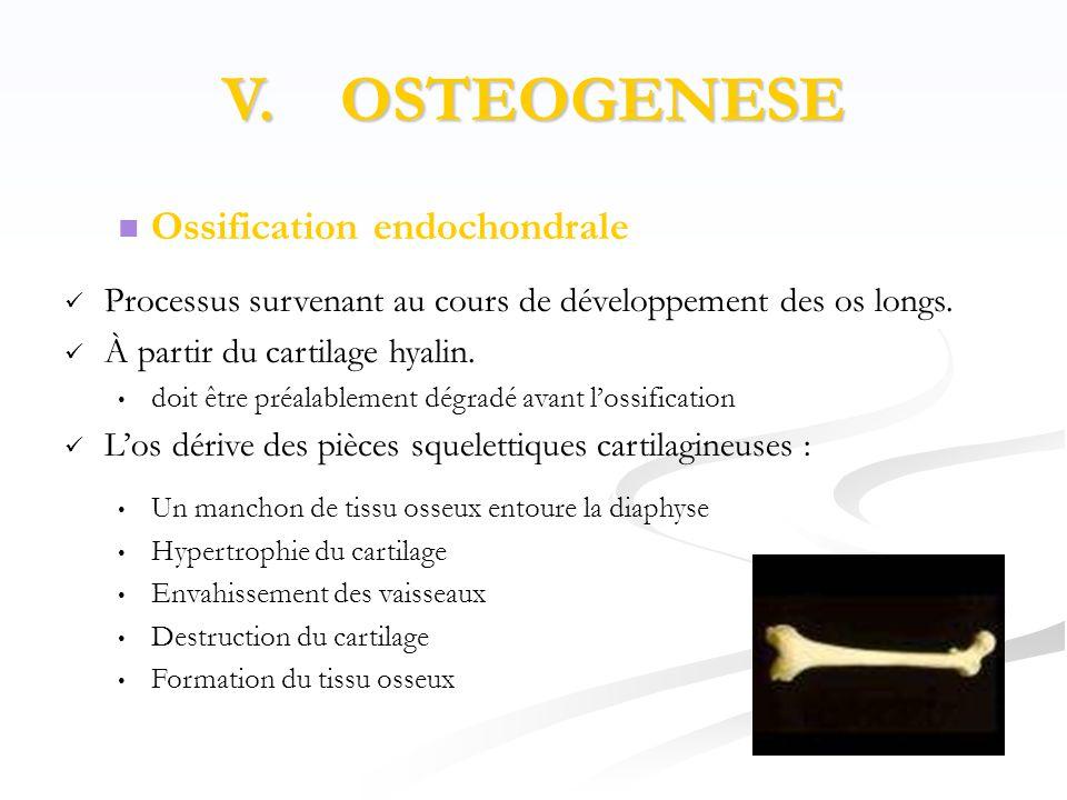 V. OSTEOGENESE Ossification endochondrale