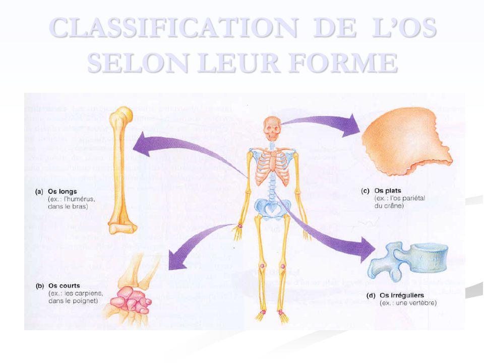 CLASSIFICATION DE L'OS SELON LEUR FORME