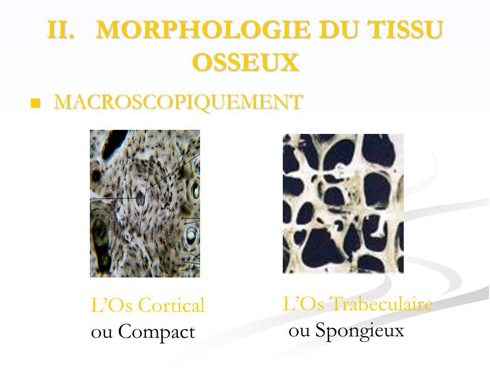 II. MORPHOLOGIE DU TISSU OSSEUX