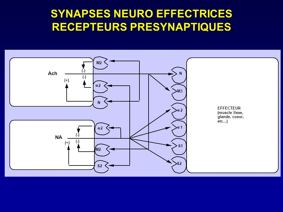 SYNAPSES NEURO EFFECTRICES RECEPTEURS PRESYNAPTIQUES