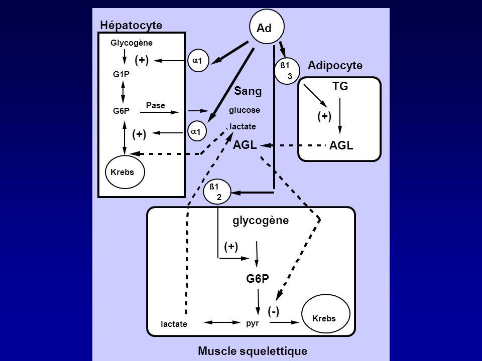 Hépatocyte Ad (+) Adipocyte TG Sang AGL glycogène (-)