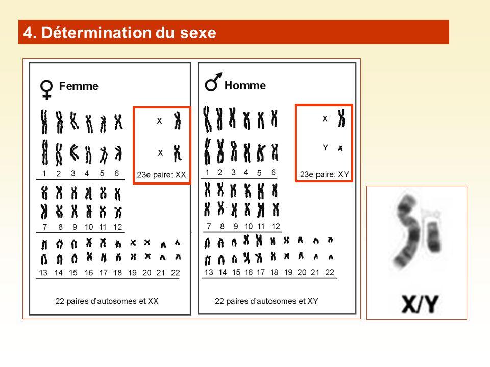 4. Détermination du sexe