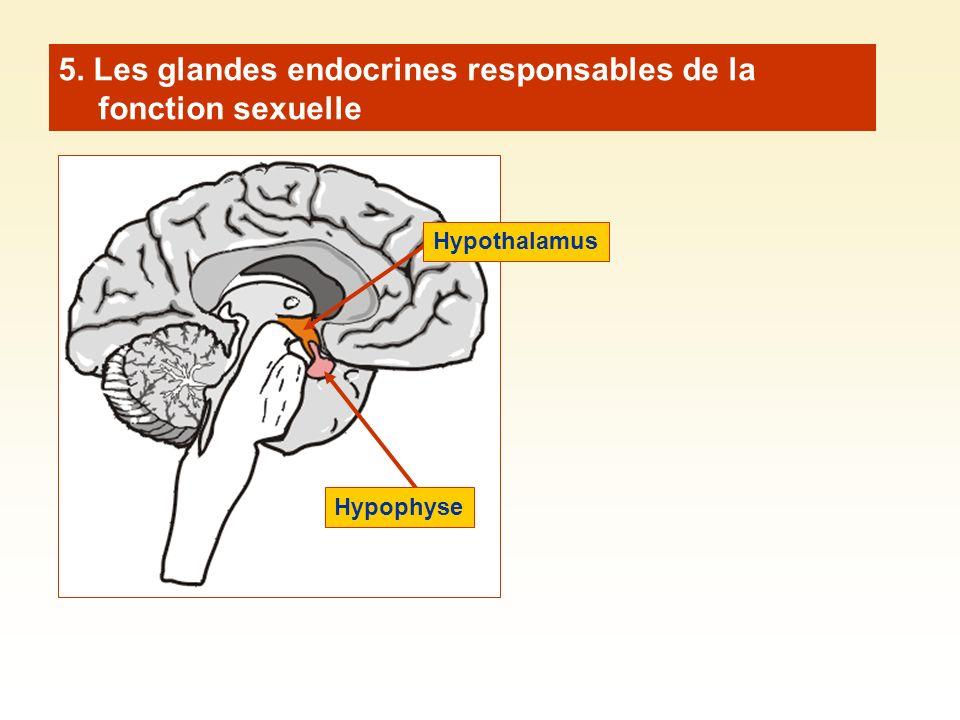 5. Les glandes endocrines responsables de la fonction sexuelle