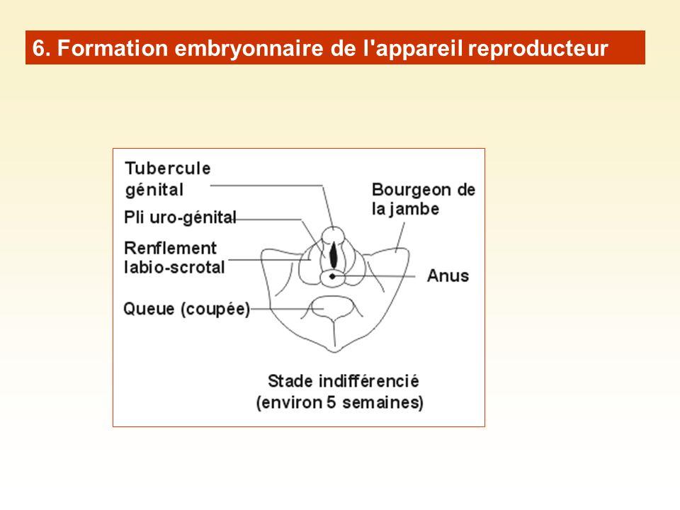 6. Formation embryonnaire de l appareil reproducteur