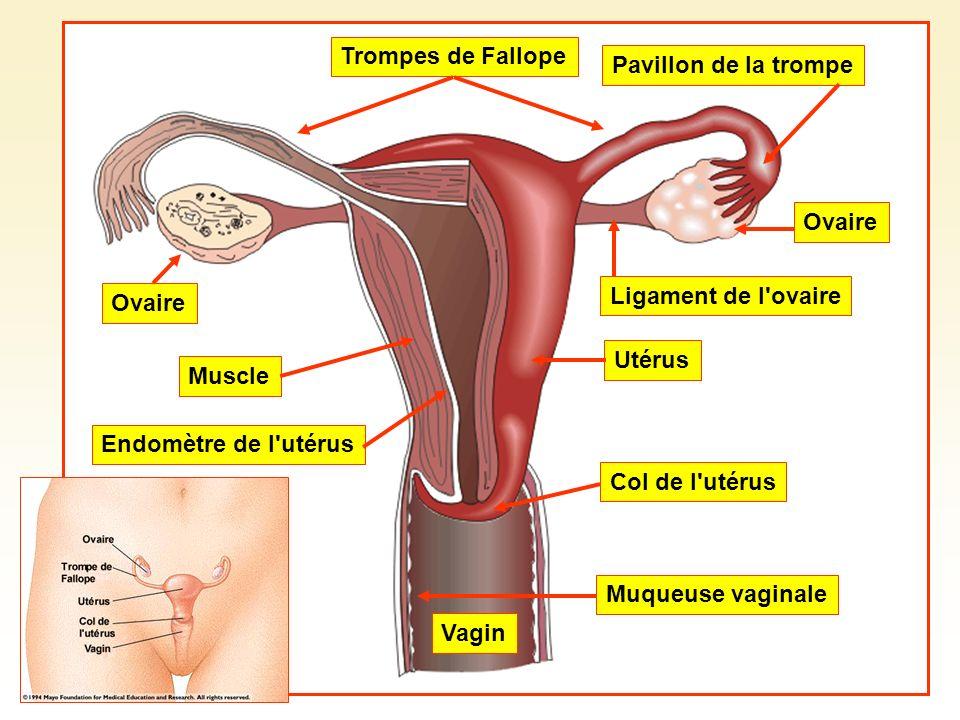 Trompes de FallopePavillon de la trompe. Ovaire. Ligament de l ovaire. Muscle. Utérus. Col de l utérus.