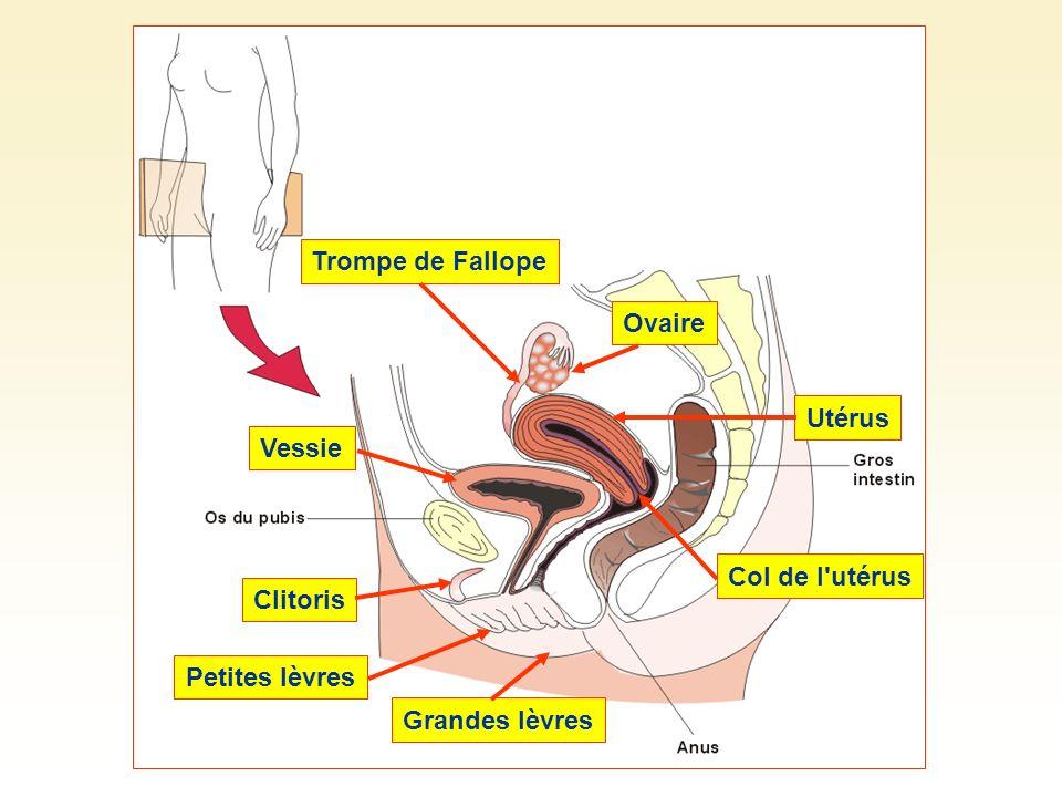 Trompe de Fallope Ovaire Utérus Col de l utérus Vessie Clitoris Grandes lèvres Petites lèvres