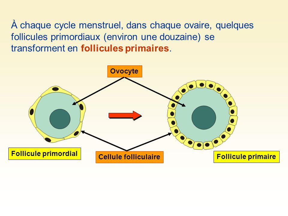 À chaque cycle menstruel, dans chaque ovaire, quelques follicules primordiaux (environ une douzaine) se transforment en follicules primaires.