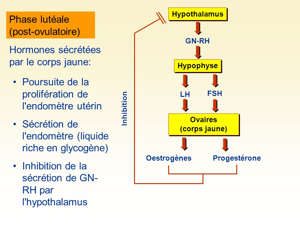Phase lutéale (post-ovulatoire)