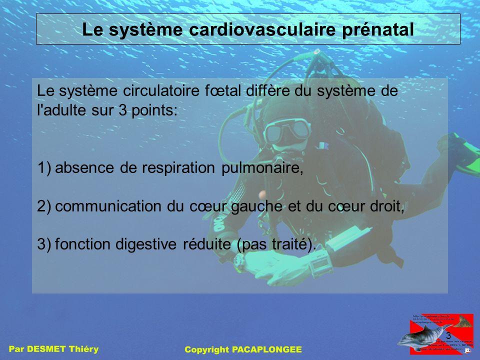 Le système cardiovasculaire prénatal
