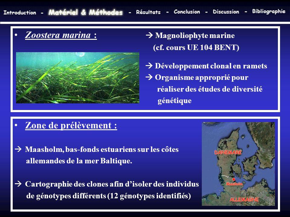 Zoostera marina :  Magnoliophyte marine