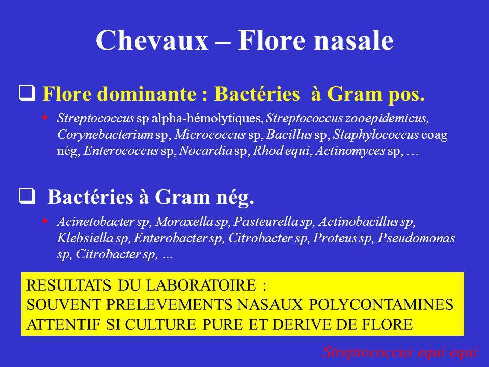 Chevaux – Flore nasale Flore dominante : Bactéries à Gram pos.