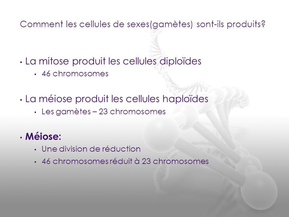 La mitose produit les cellules diploïdes