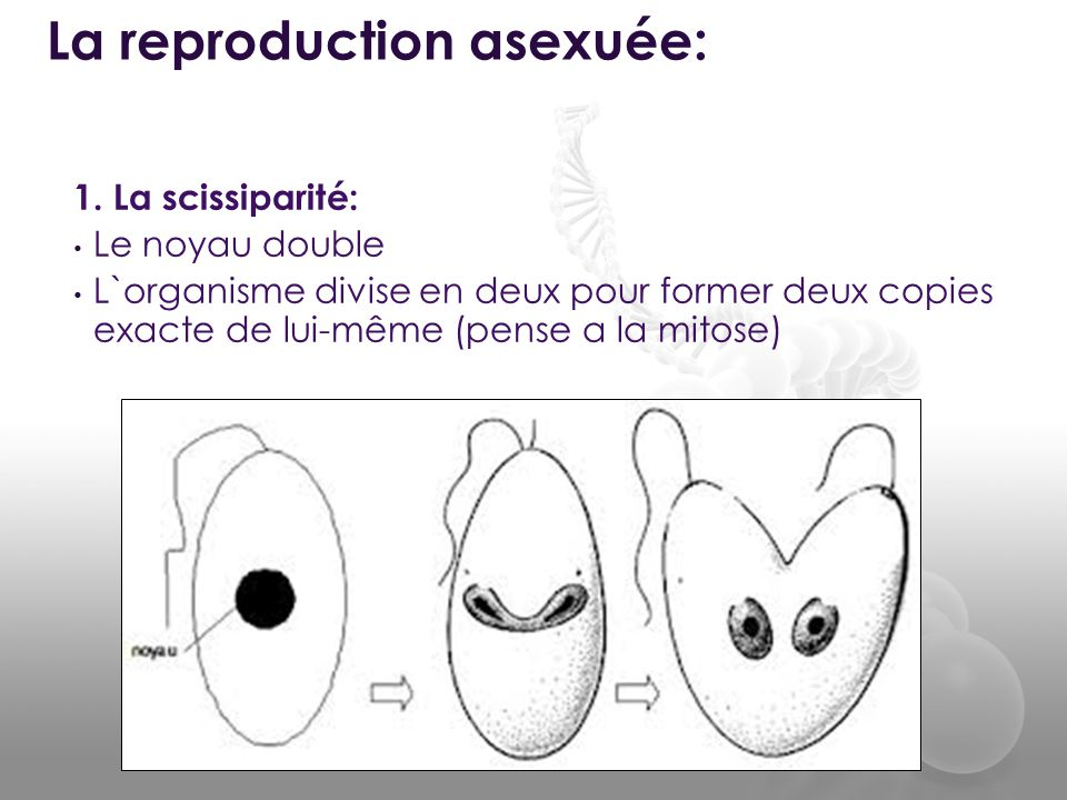 La reproduction asexuée: