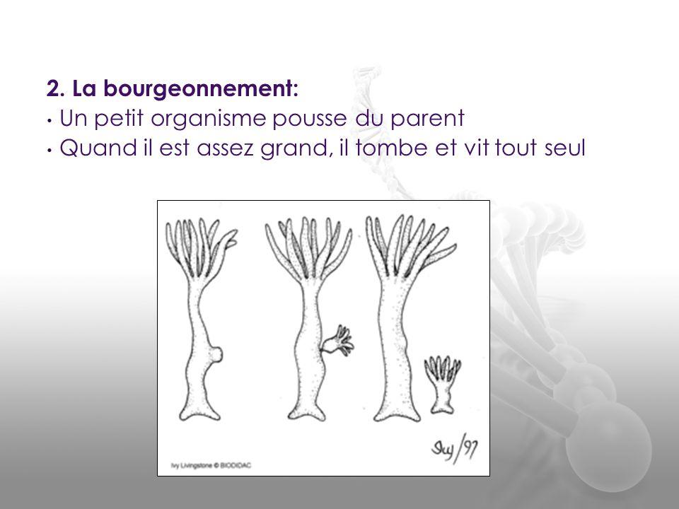 2. La bourgeonnement: Un petit organisme pousse du parent.