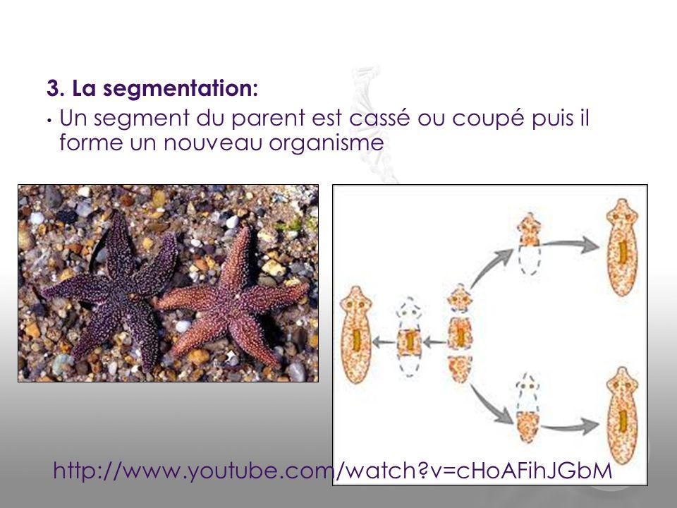 3. La segmentation: Un segment du parent est cassé ou coupé puis il forme un nouveau organisme.