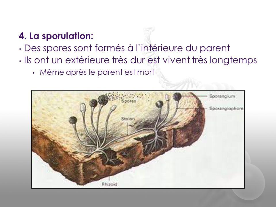 Des spores sont formés à l`intérieure du parent