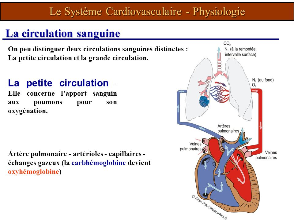 Le Système Cardiovasculaire - Physiologie
