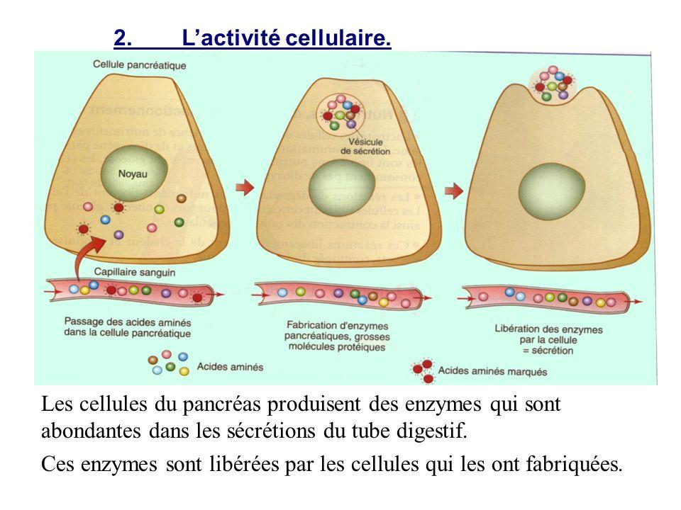 2. L'activité cellulaire.