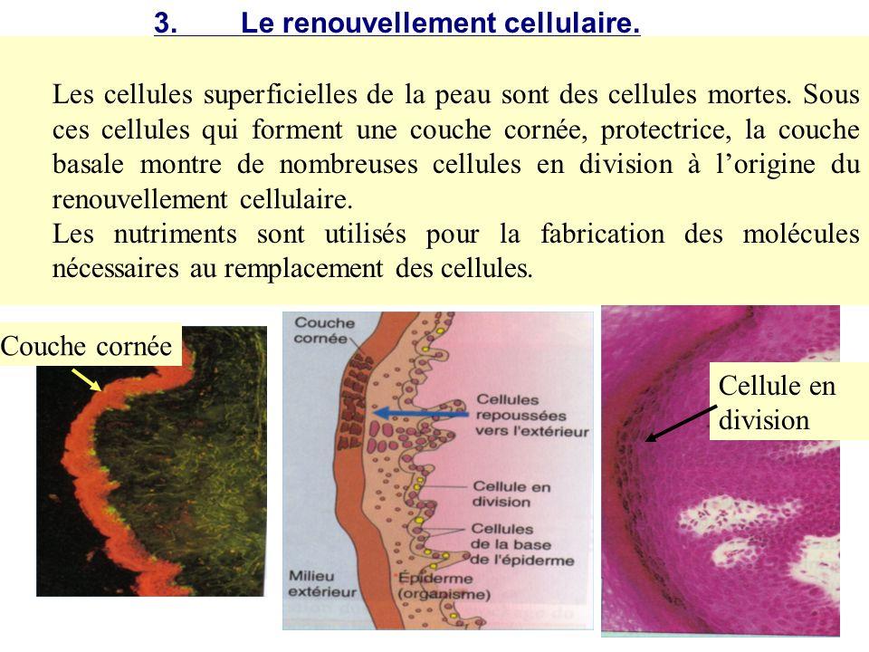 3. Le renouvellement cellulaire.