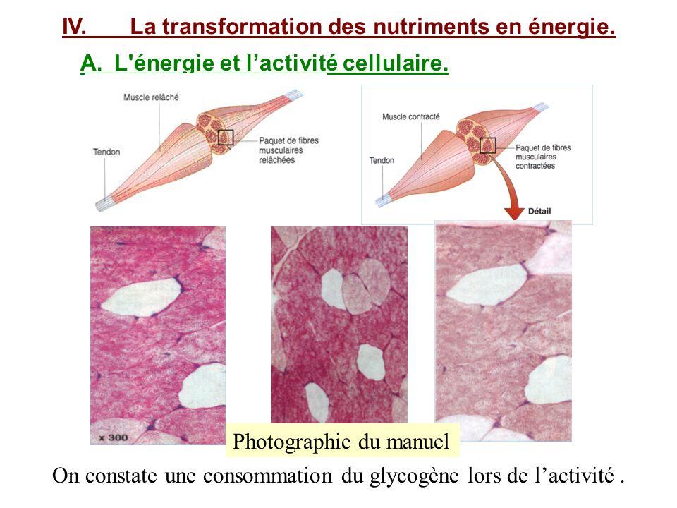IV. La transformation des nutriments en énergie.