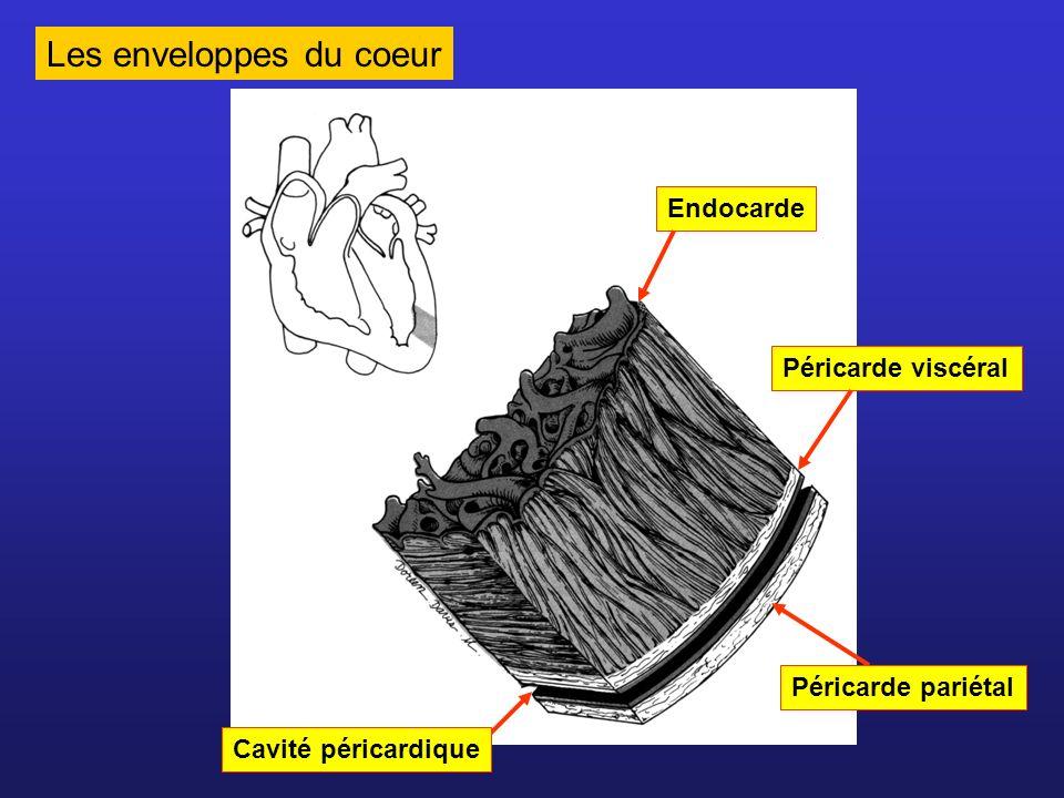 Les enveloppes du coeur