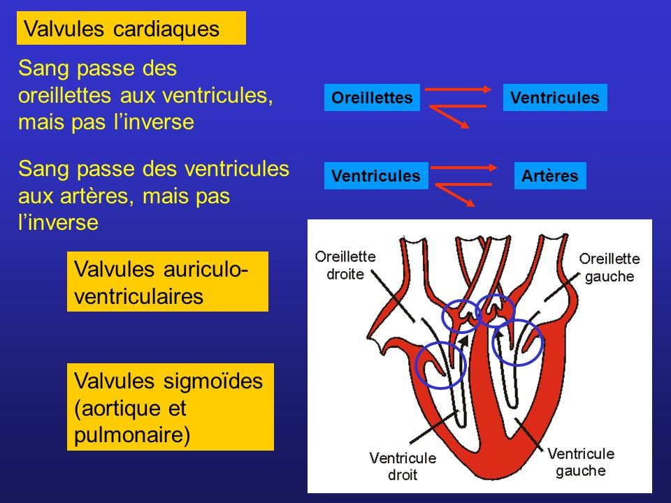 Sang passe des oreillettes aux ventricules, mais pas l'inverse
