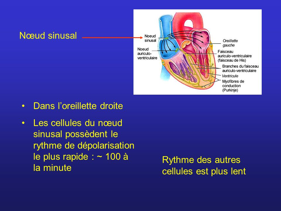 Nœud sinusal Dans l'oreillette droite. Les cellules du nœud sinusal possèdent le rythme de dépolarisation le plus rapide : ~ 100 à la minute.