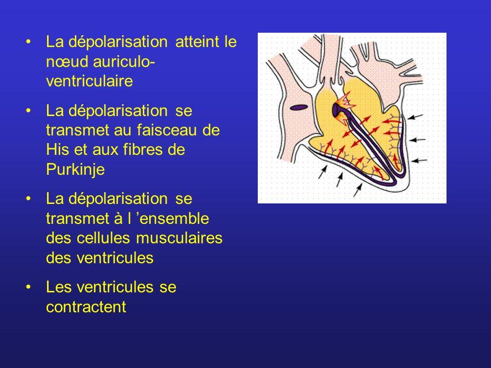 La dépolarisation atteint le nœud auriculo-ventriculaire
