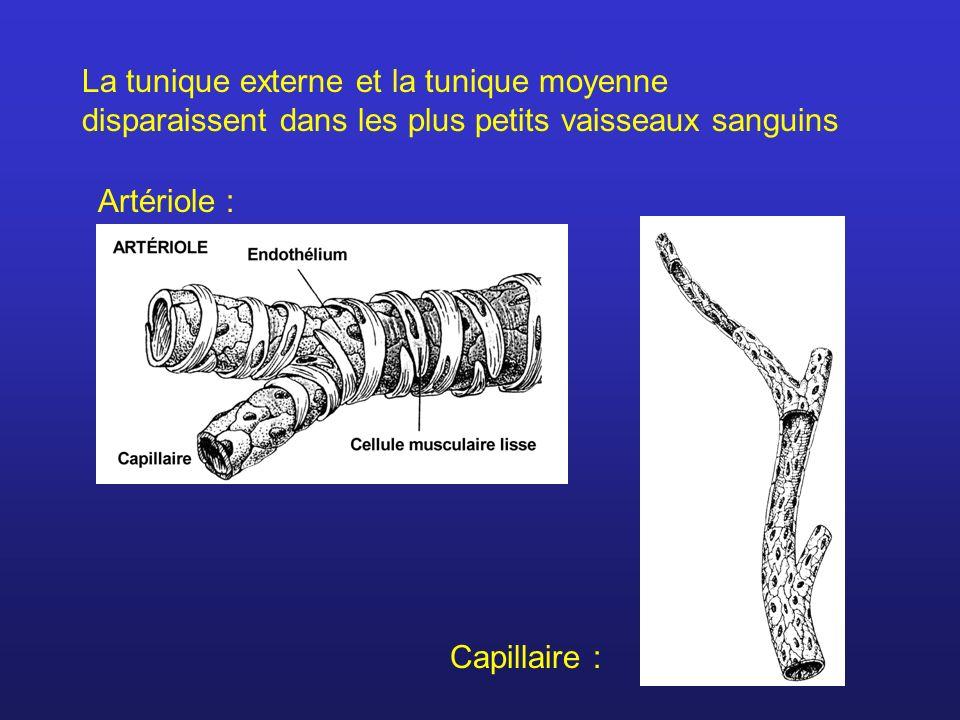 La tunique externe et la tunique moyenne disparaissent dans les plus petits vaisseaux sanguins