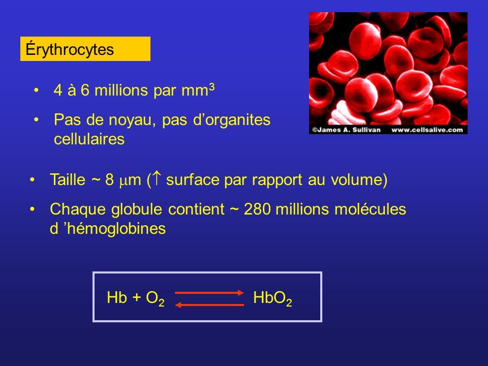 Érythrocytes4 à 6 millions par mm3. Pas de noyau, pas d'organites cellulaires. Taille ~ 8 m ( surface par rapport au volume)