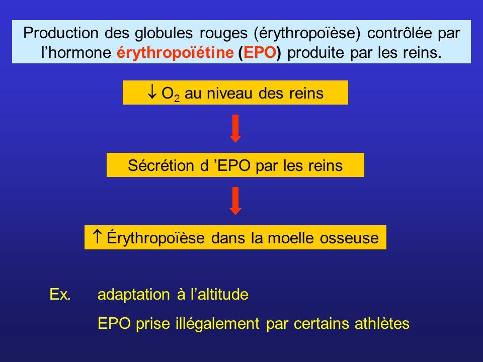 Sécrétion d 'EPO par les reins