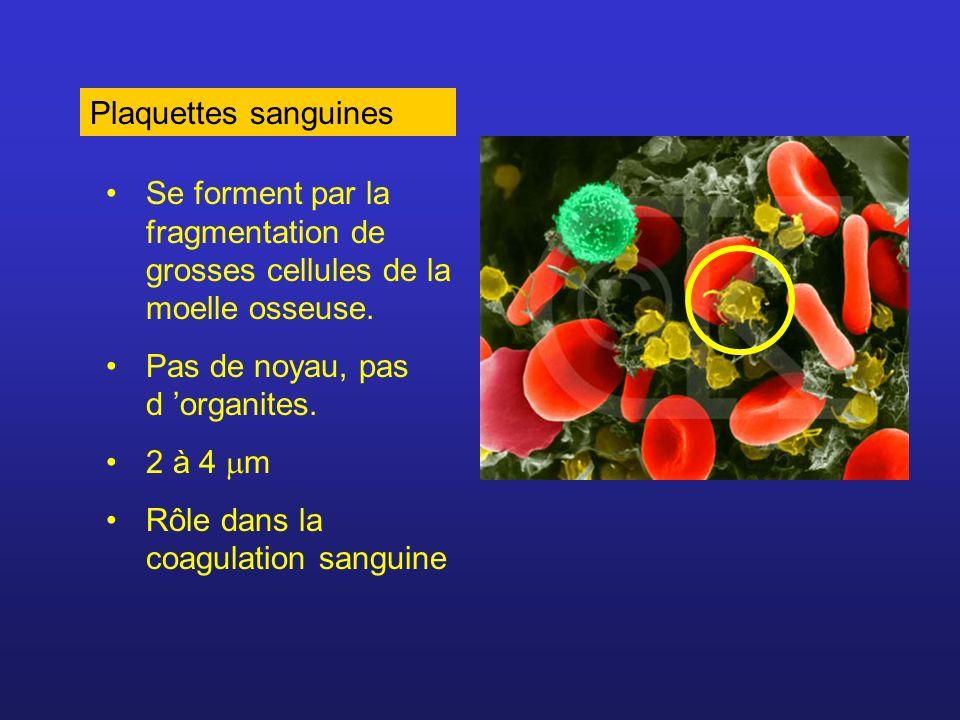 Plaquettes sanguines Se forment par la fragmentation de grosses cellules de la moelle osseuse. Pas de noyau, pas d 'organites.