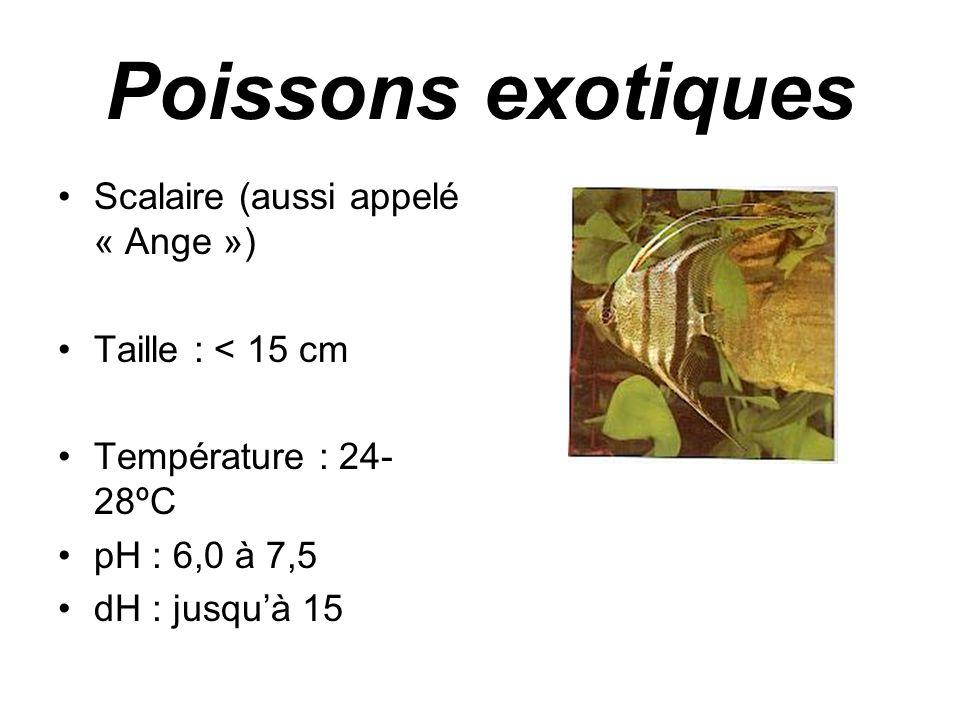 Poissons exotiques Scalaire (aussi appelé « Ange »)