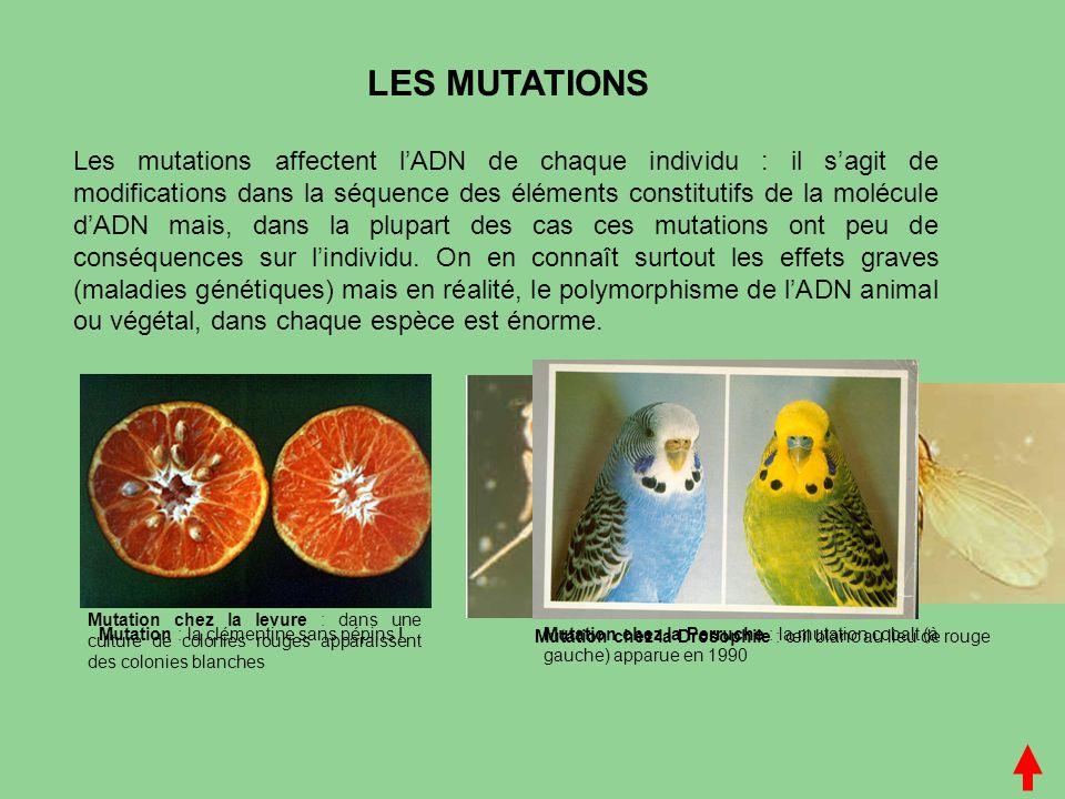 Mutation chez la Drosophile : œil blanc au lieu de rouge