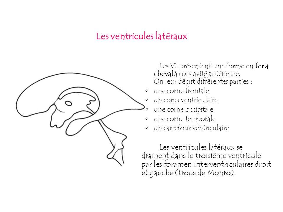 Les ventricules latéraux