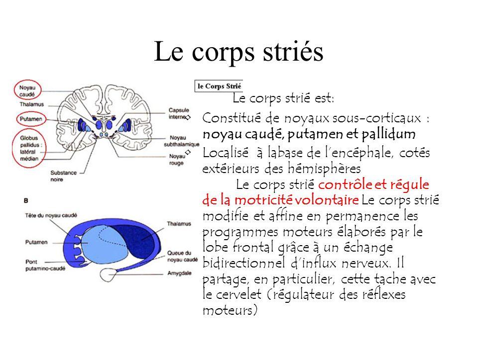 Le corps striés Le corps strié est: