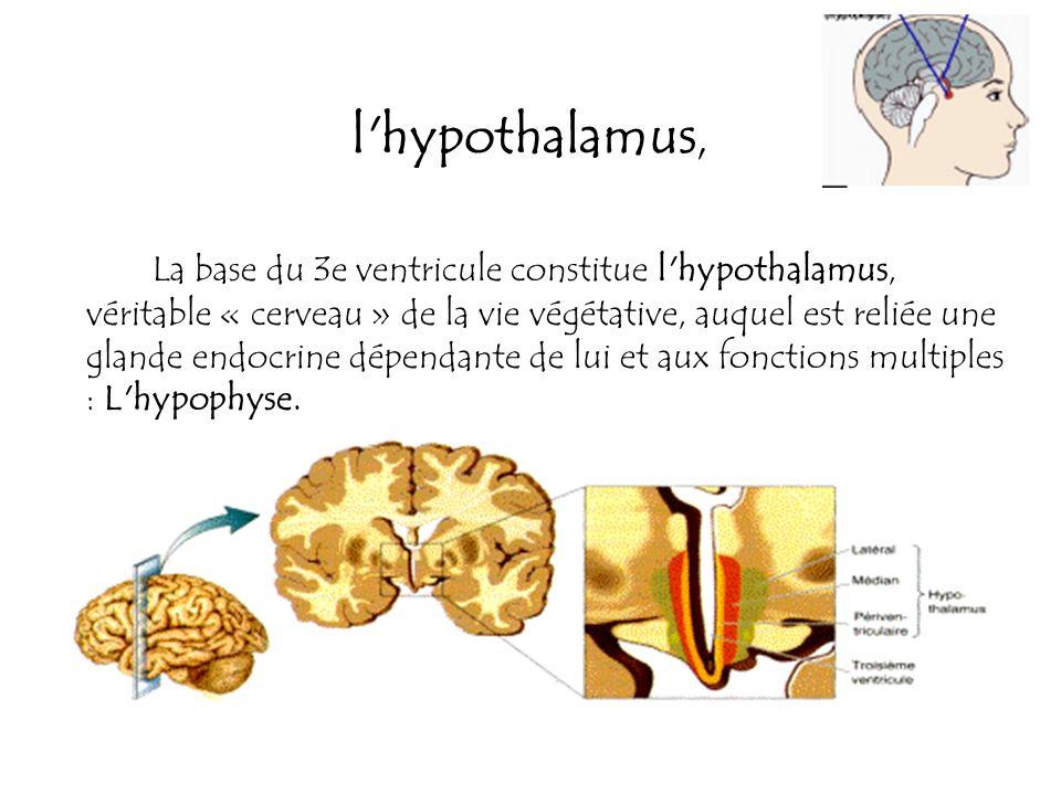 l hypothalamus,
