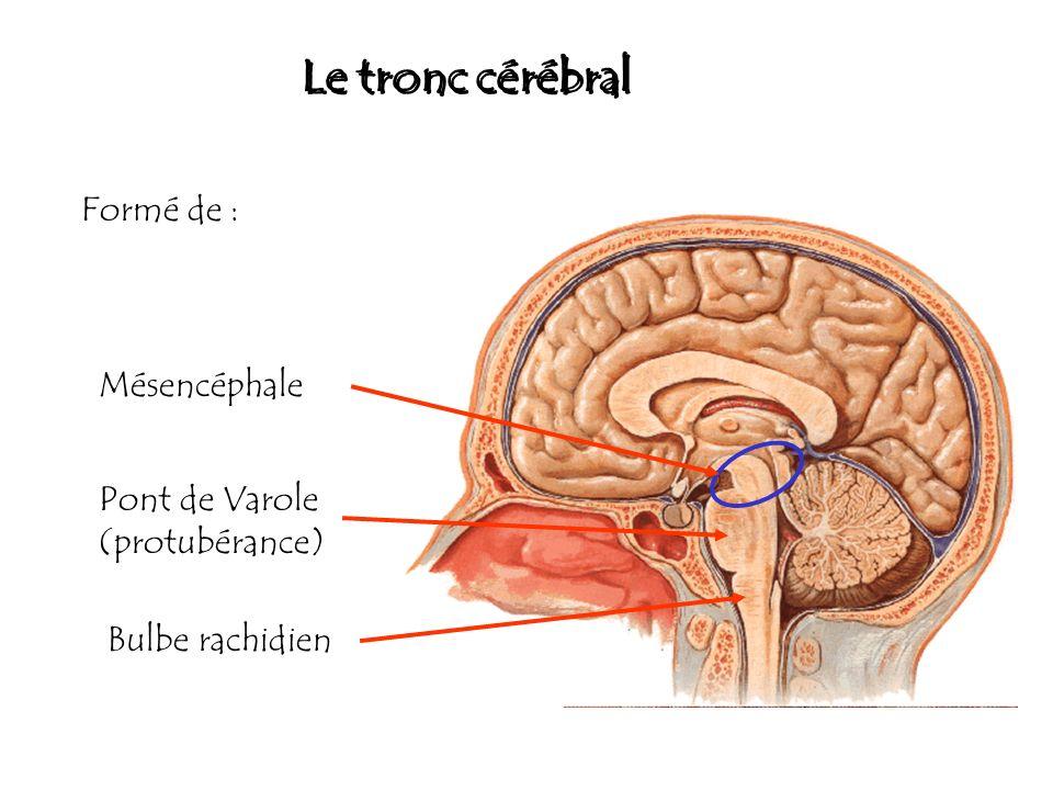 Le tronc cérébral Formé de : Mésencéphale