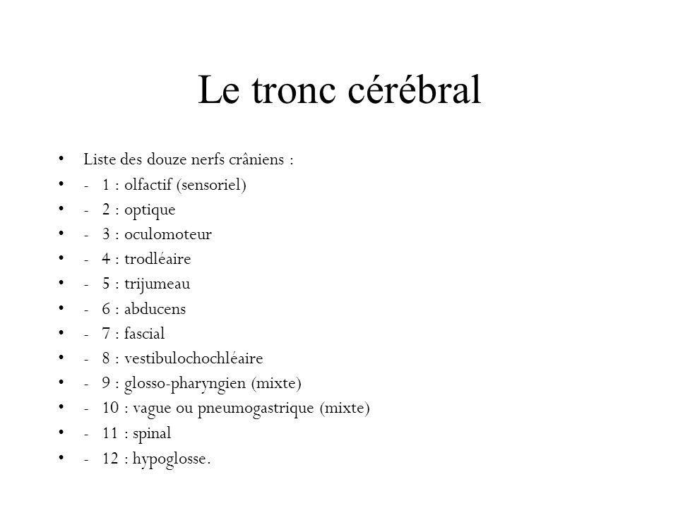 Le tronc cérébral Liste des douze nerfs crâniens :
