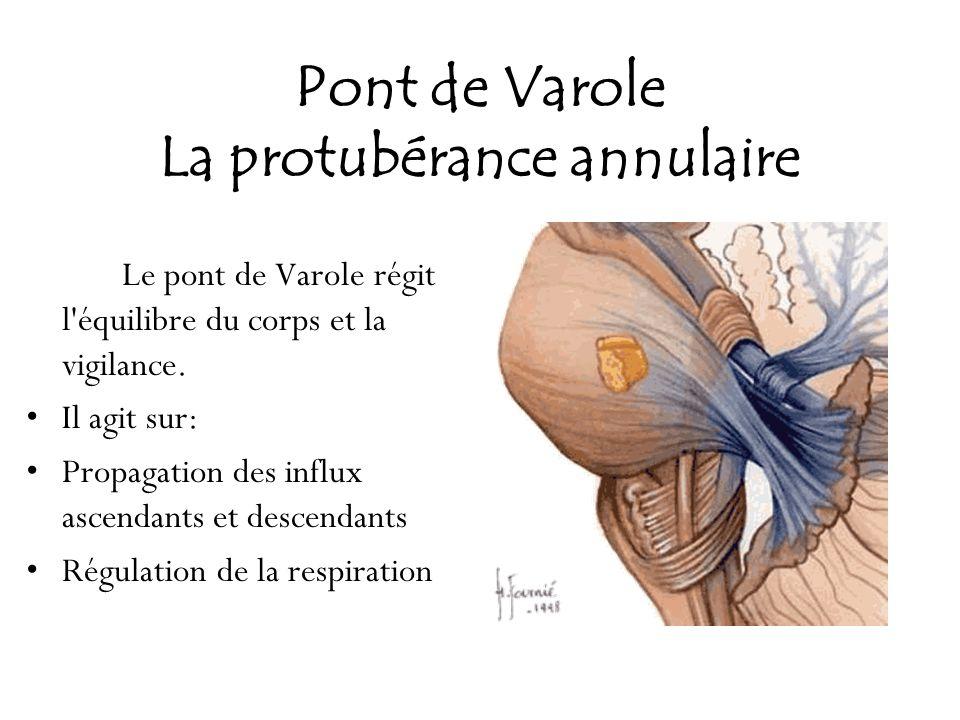 Pont de Varole La protubérance annulaire